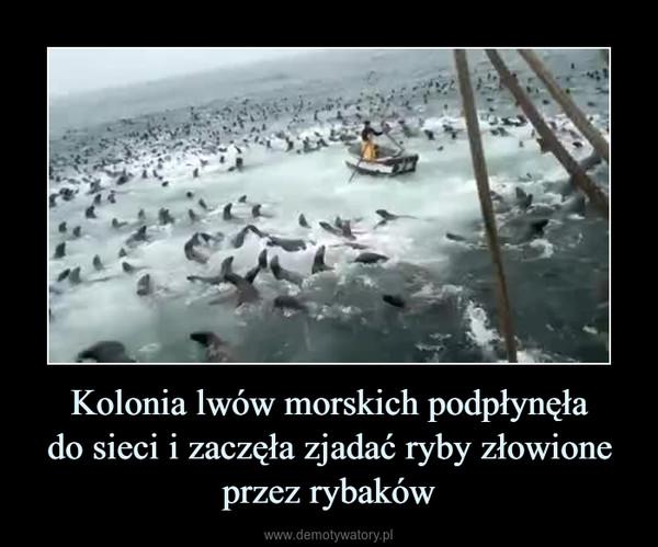 Kolonia lwów morskich podpłynęłado sieci i zaczęła zjadać ryby złowione przez rybaków –