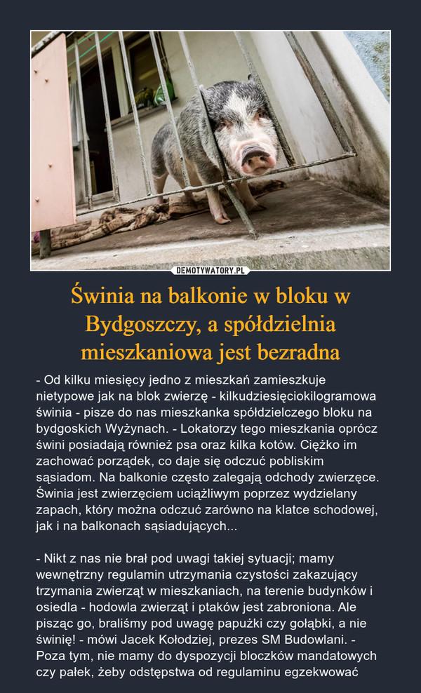 Świnia na balkonie w bloku w Bydgoszczy, a spółdzielnia mieszkaniowa jest bezradna – - Od kilku miesięcy jedno z mieszkań zamieszkuje nietypowe jak na blok zwierzę - kilkudziesięciokilogramowa świnia - pisze do nas mieszkanka spółdzielczego bloku na bydgoskich Wyżynach. - Lokatorzy tego mieszkania oprócz świni posiadają również psa oraz kilka kotów. Ciężko im zachować porządek, co daje się odczuć pobliskim sąsiadom. Na balkonie często zalegają odchody zwierzęce. Świnia jest zwierzęciem uciążliwym poprzez wydzielany zapach, który można odczuć zarówno na klatce schodowej, jak i na balkonach sąsiadujących...- Nikt z nas nie brał pod uwagi takiej sytuacji; mamy wewnętrzny regulamin utrzymania czystości zakazujący trzymania zwierząt w mieszkaniach, na terenie budynków i osiedla - hodowla zwierząt i ptaków jest zabroniona. Ale pisząc go, braliśmy pod uwagę papużki czy gołąbki, a nie świnię! - mówi Jacek Kołodziej, prezes SM Budowlani. - Poza tym, nie mamy do dyspozycji bloczków mandatowych czy pałek, żeby odstępstwa od regulaminu egzekwować